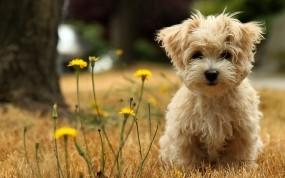 Обои Болонка: Щенок, Болонка, Одуванчики, Собаки