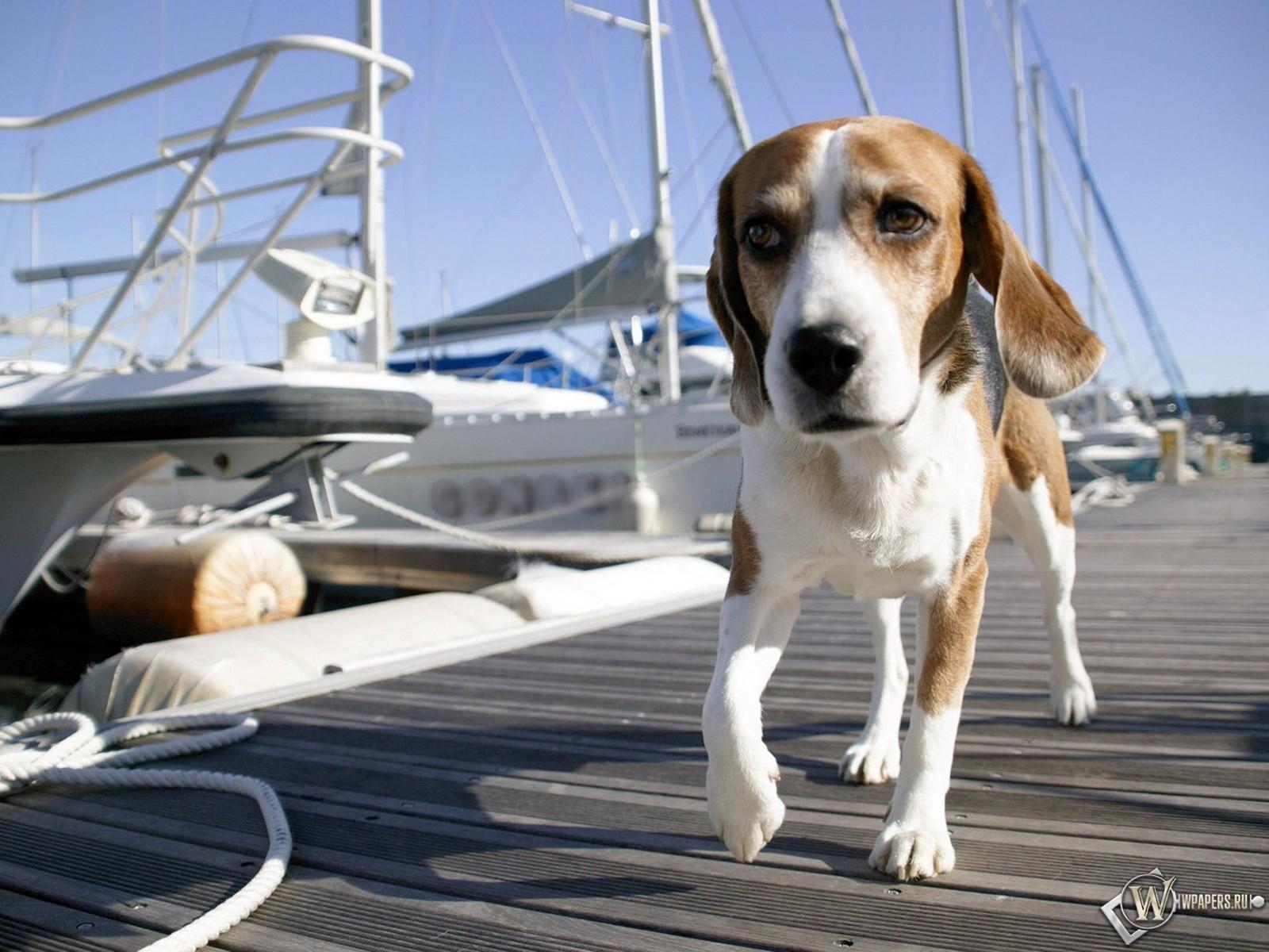 Собака по пристани гуляка 1600x1200