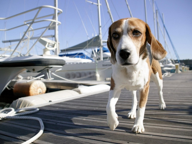 Собака по пристани гуляка