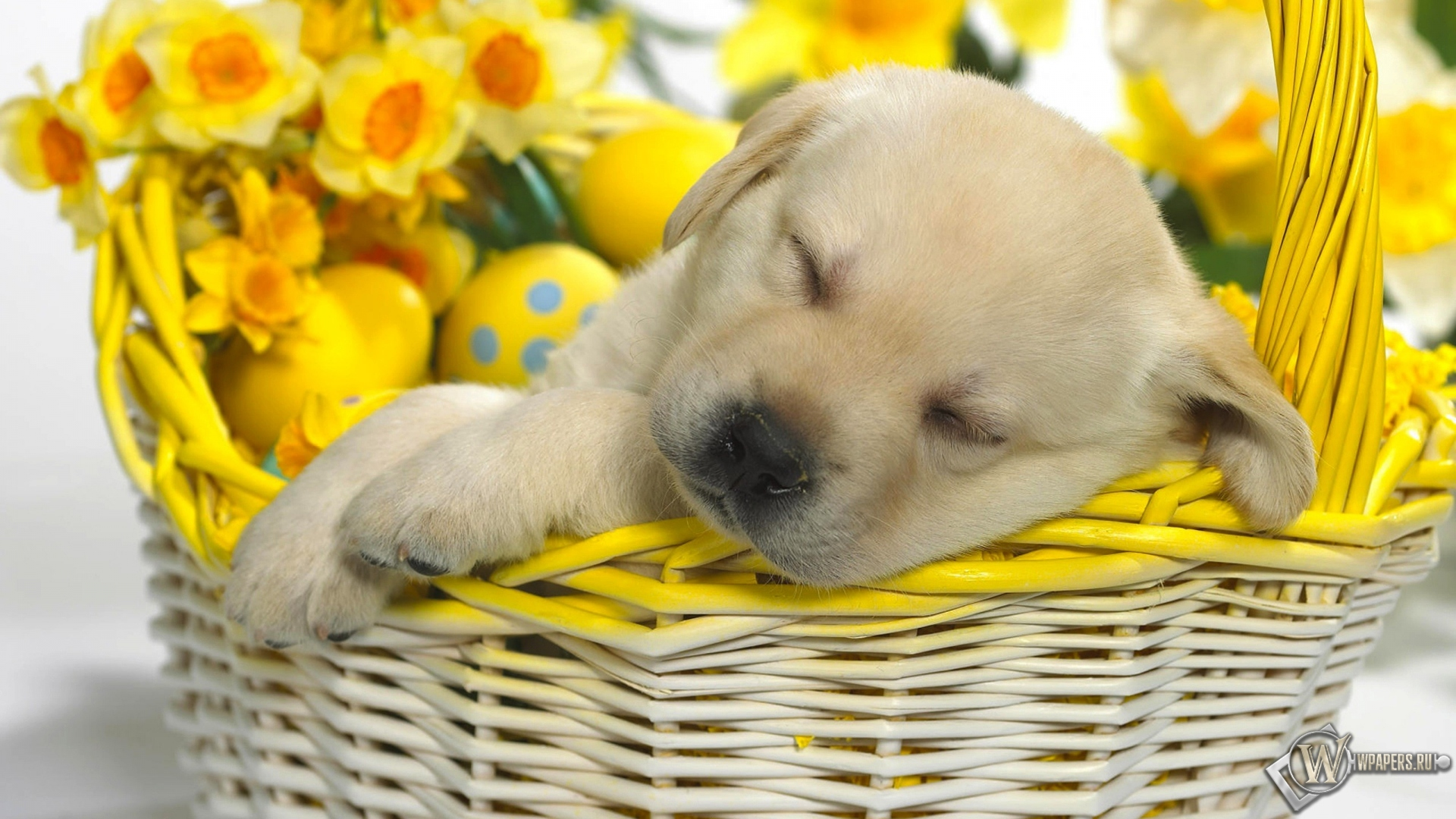 Обои щенок в корзинке щенок корзинка
