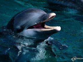 Обои Голова дельфина: Дельфин, Голова, Дельфины