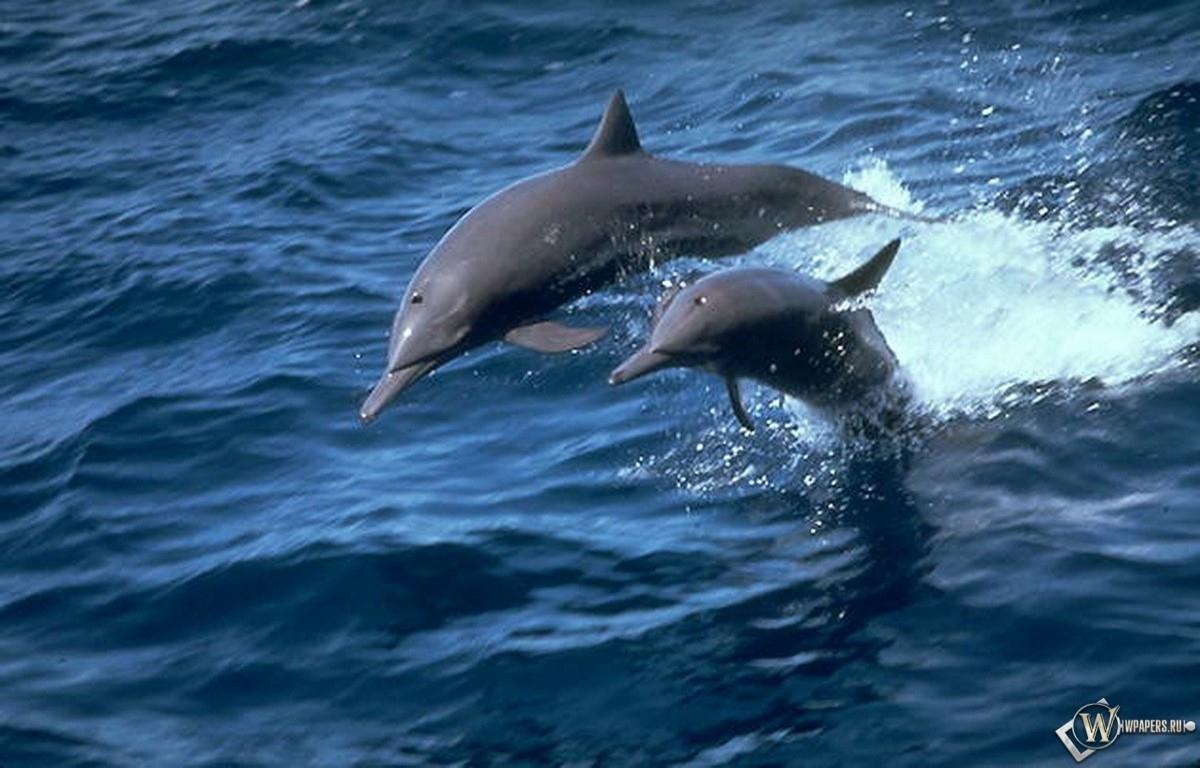 Пара дельфинов 1200x768