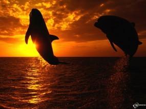 Обои Дельфины на закате: Закат, Небо, Дельфины, Дельфины