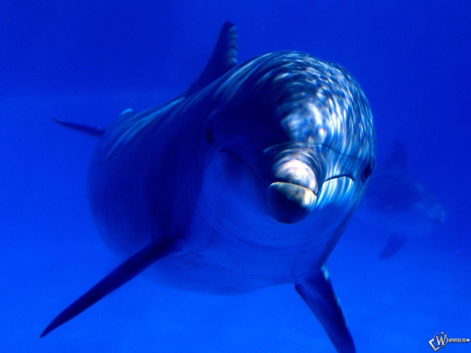 Дельфин взрослый 1600x1200
