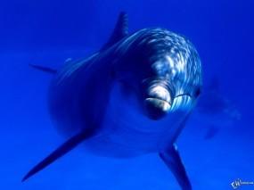 Обои Дельфин взрослый: Синий, Под водой, Дельфин, Дельфины