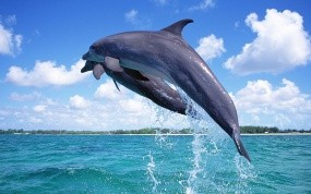 Обои Дельфины в прыжке: Море, Брызги, Дельфины, Дельфины