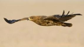 Обои Орел: Хищник, Птица, Орёл, Орлы