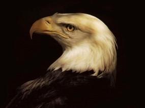 Обои Орел: Хищник, Птица, Орёл, Голова, Орлы