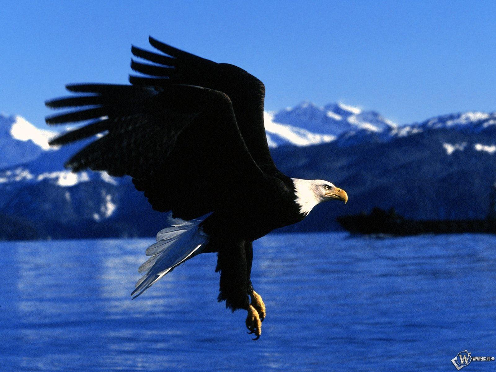 Орел готовится схватить 1600x1200