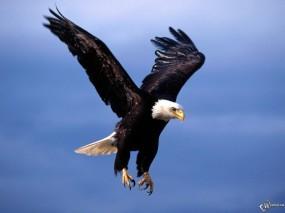 Орел охотится