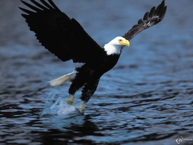 Орел рыболов