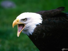 Обои Кричащий орел: , Орлы