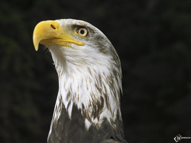 Орел бдит