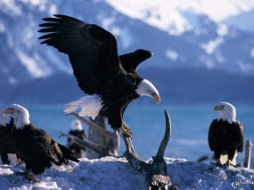Обои Сбор орлов: , Орлы