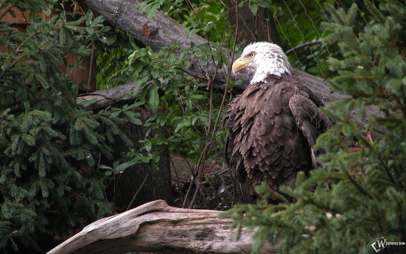 Орел в лесу 1680x1050