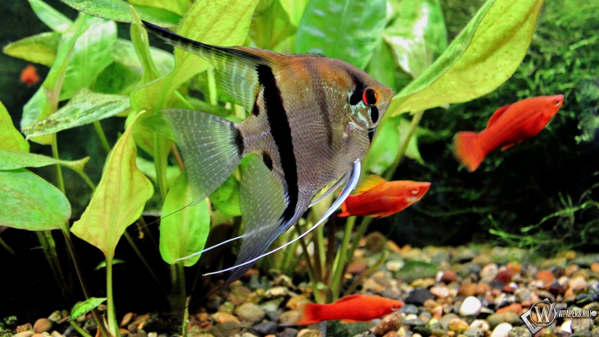 Обои скалярия аквариум рыба
