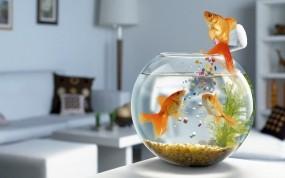 Обои Золотые рыбки: Аквариум, Рыбки, Рыбы