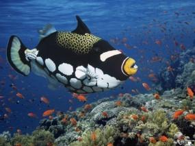 Обои Clown Triggerfish: , Рыбы