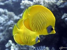 Обои Две рыбки клоуны: , Рыбы