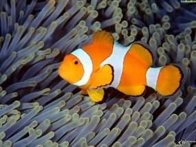 Обои Рыбка-клоун: , Рыбы
