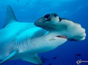 Обои Акула: , Рыбы
