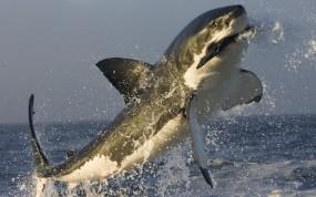 Обои Акула в прыжке: Брызги, Прыжок, Акула, Рыбы