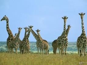 Обои Жирафы: Жирафы, Стая, Жирафы