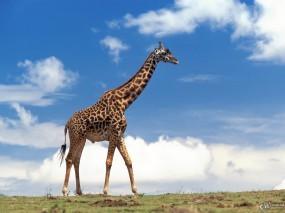 Обои Жираф на фоне неба: Небо, Жираф, Жирафы
