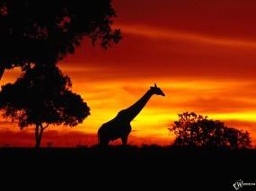Обои Жираф на закате: Закат, Жираф, Жирафы