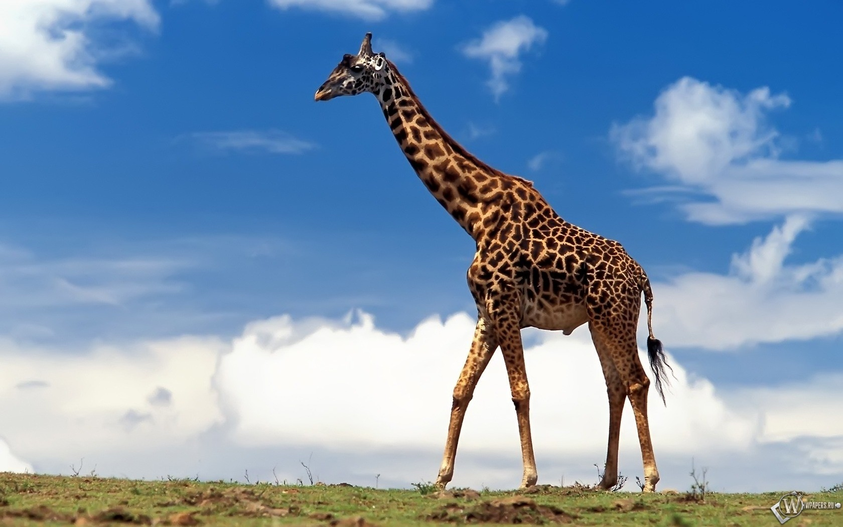 Жираф большой 1680x1050