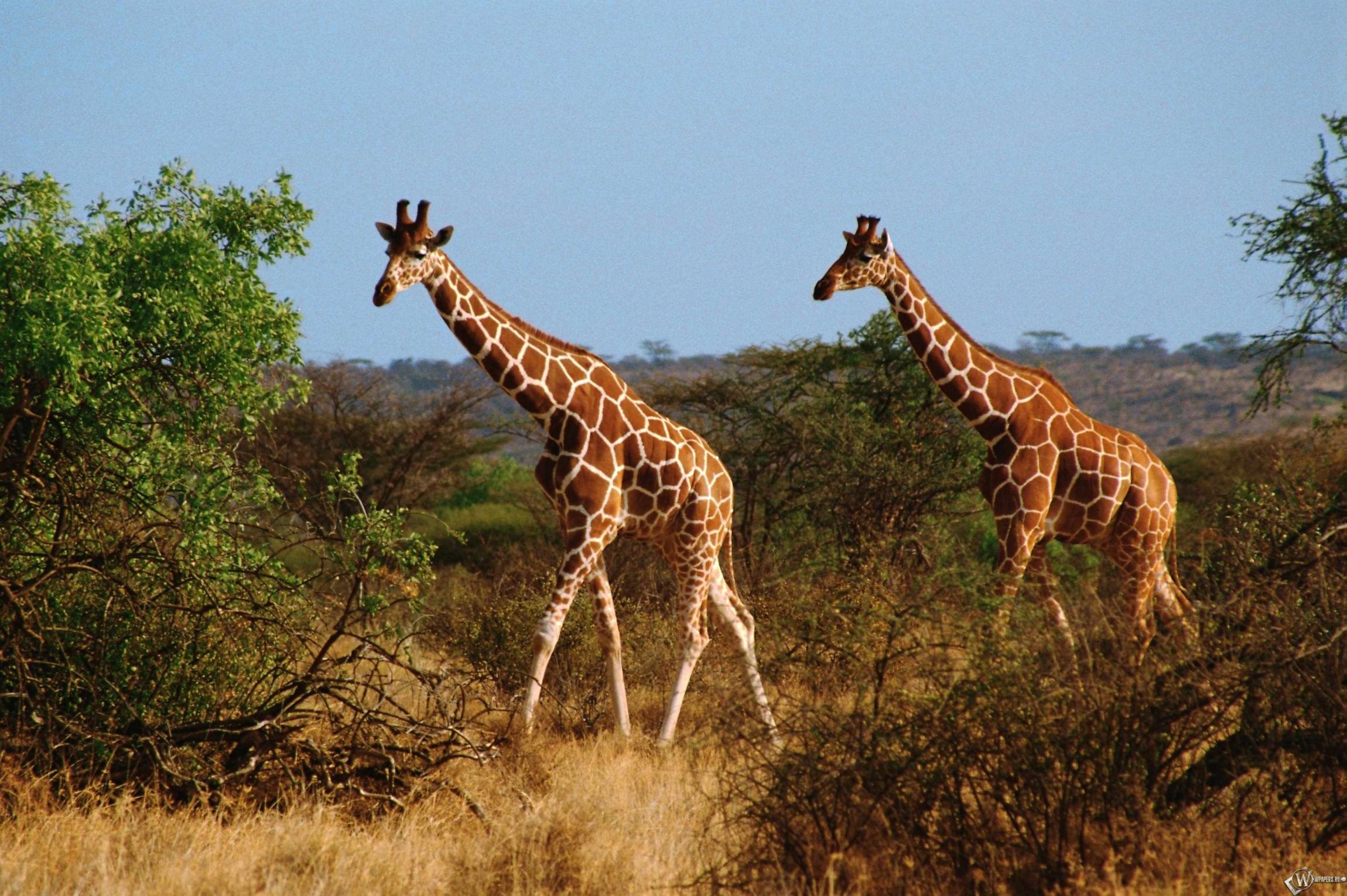 Два жирафа картинки