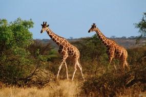Обои Два жирафа: Жирафы, Саванна, Жирафы