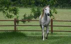 Обои Серая лошадь: Забор, Трава, Лошадь, Лошади
