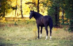 Обои Лошадь в лесу: Лес, Закат, Вечер, Осень, Лошадь, Лошади