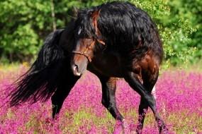 Обои Танец коня: Цветы, Конь, Танец, Лошади