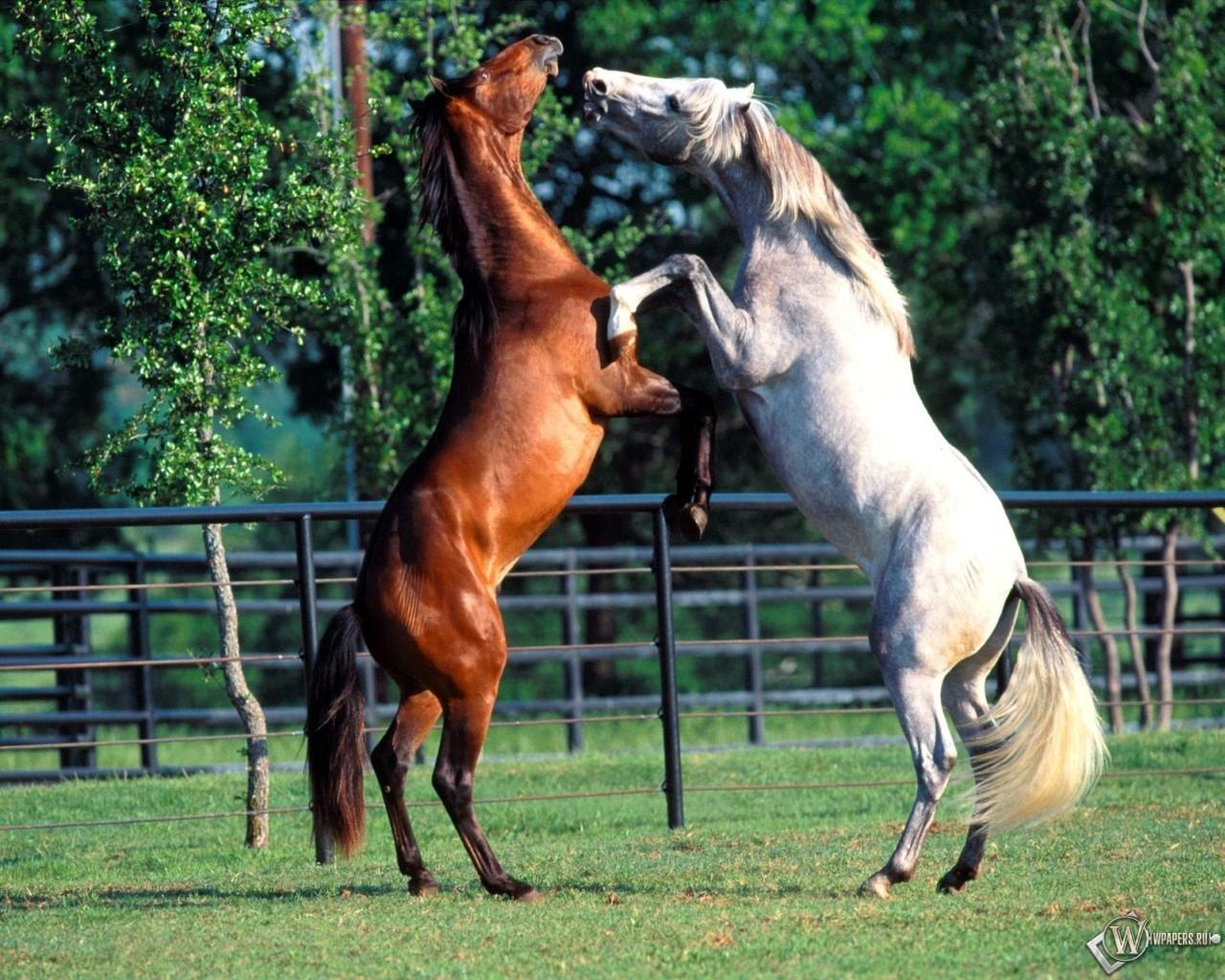 Лошади играют 1280x1024