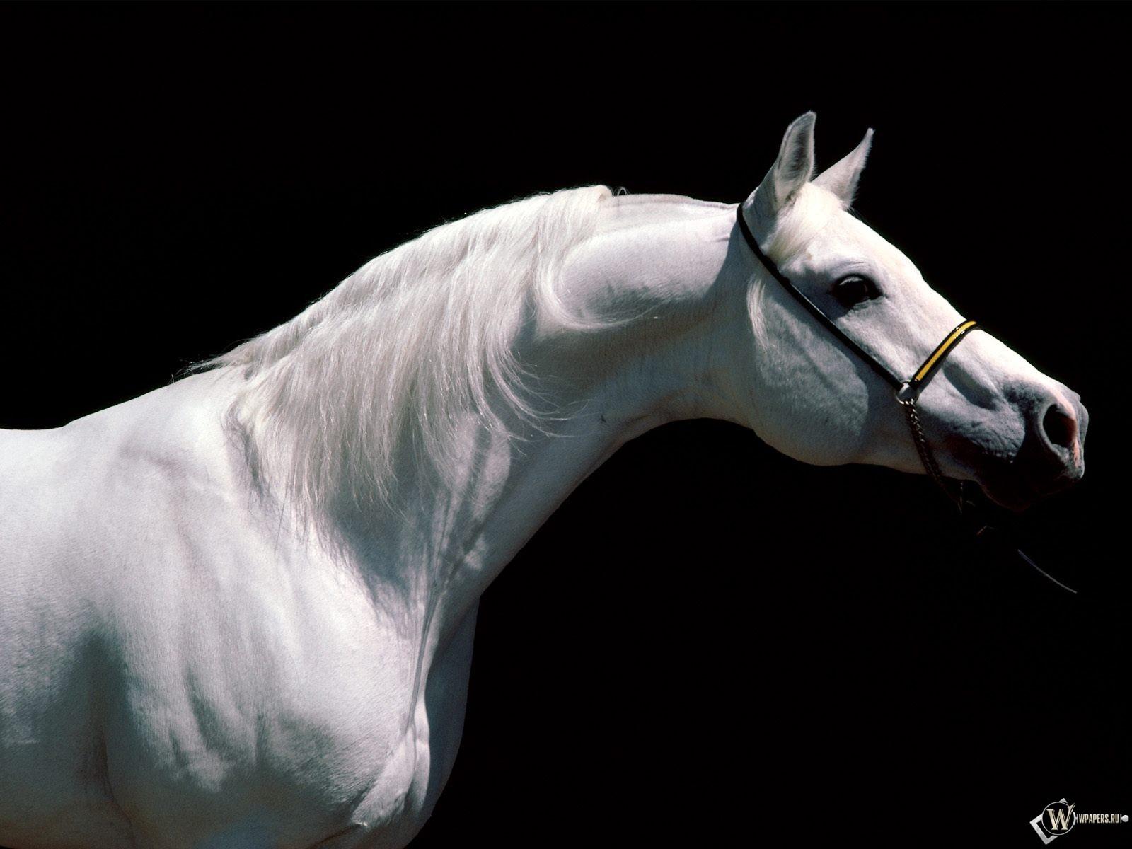Белая лошадь в профиль 1600x1200