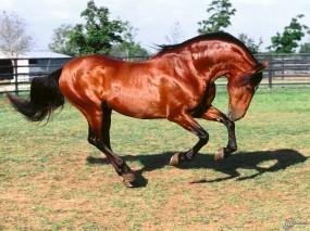 Обои Мустанг в загоне: Лошадь, Мустанг, Лошади