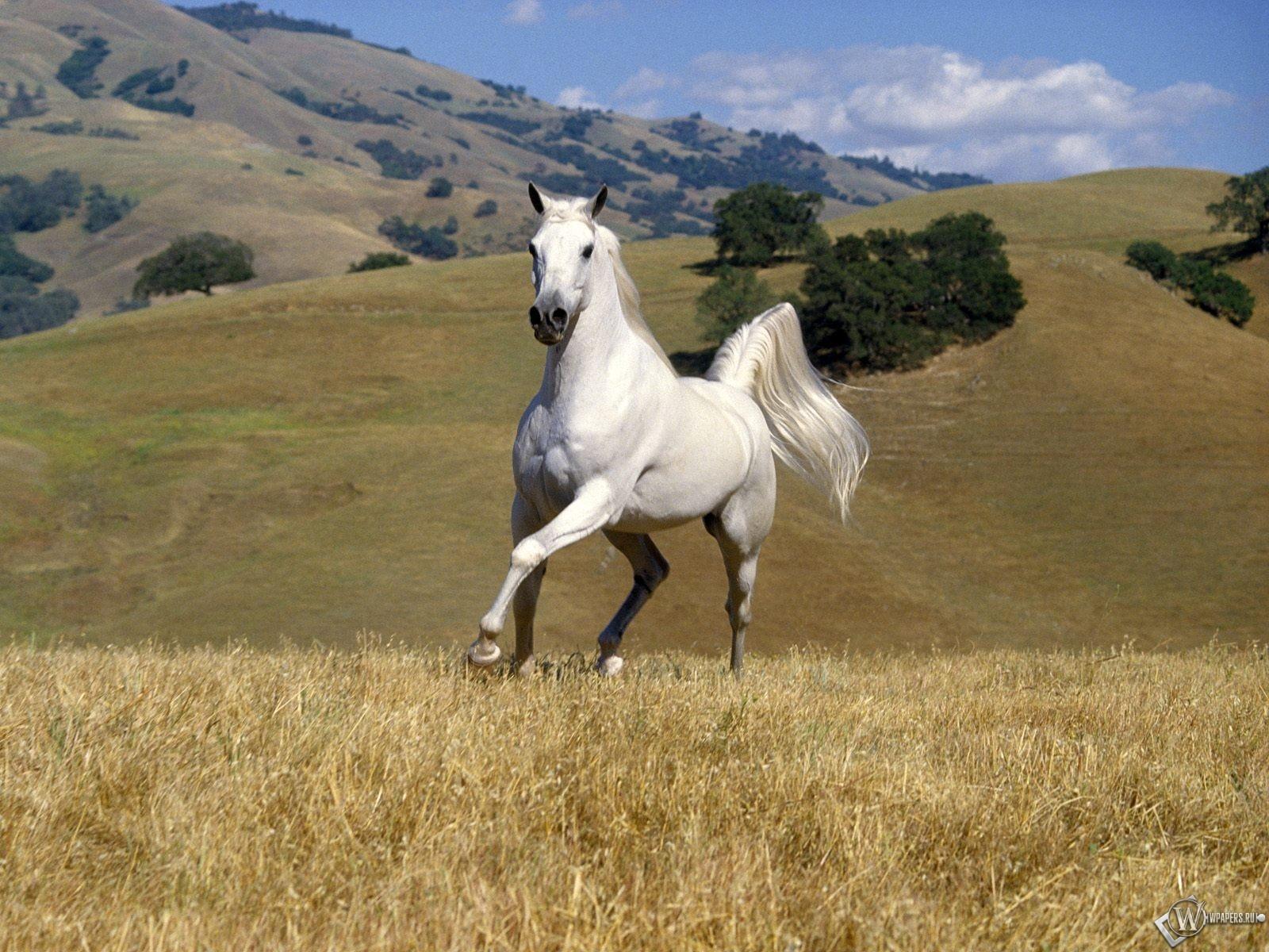Белый конь бегает в поле 1600x1200