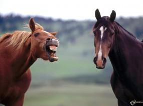 Обои Конь смеется: , Лошади