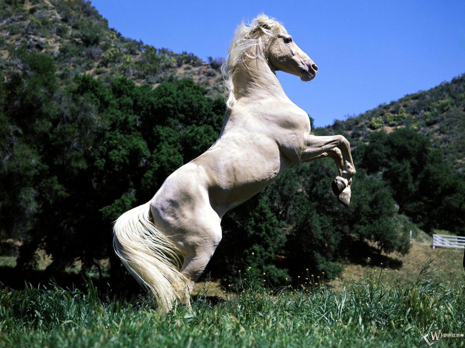 Белый конь встал на дыбы 1600x1200