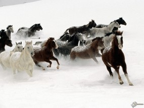 Обои Кони бегущие по снегу: , Лошади