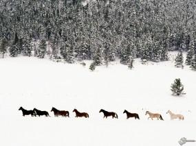 Обои Лошади на снегу: , Лошади