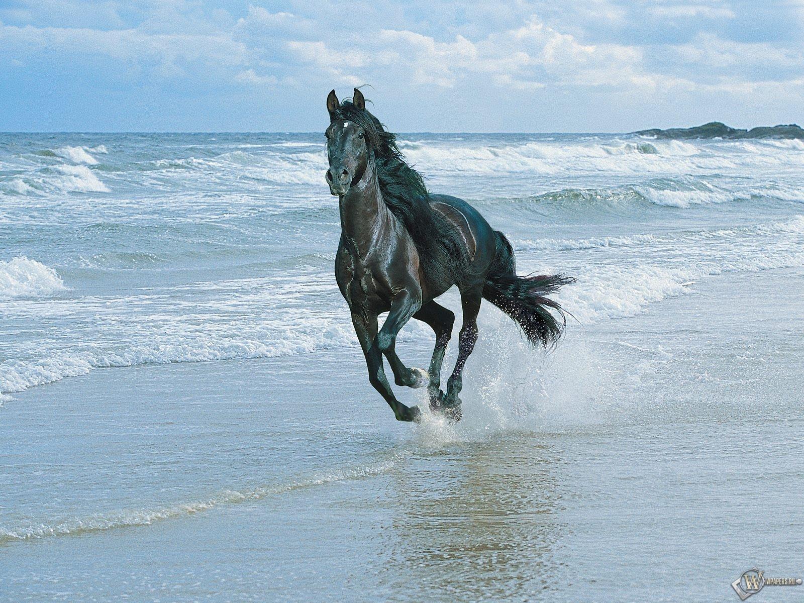 Черный конь бегущий по берегу 1600x1200