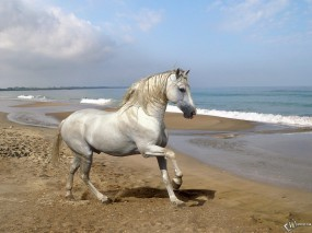 Обои Белый конь на берегу: , Лошади
