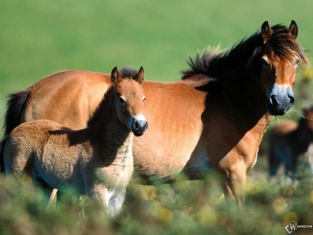 Две пони