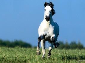 Обои Белый бегущий конь: , Лошади