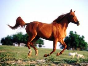 Обои Бегущий конь: , Лошади