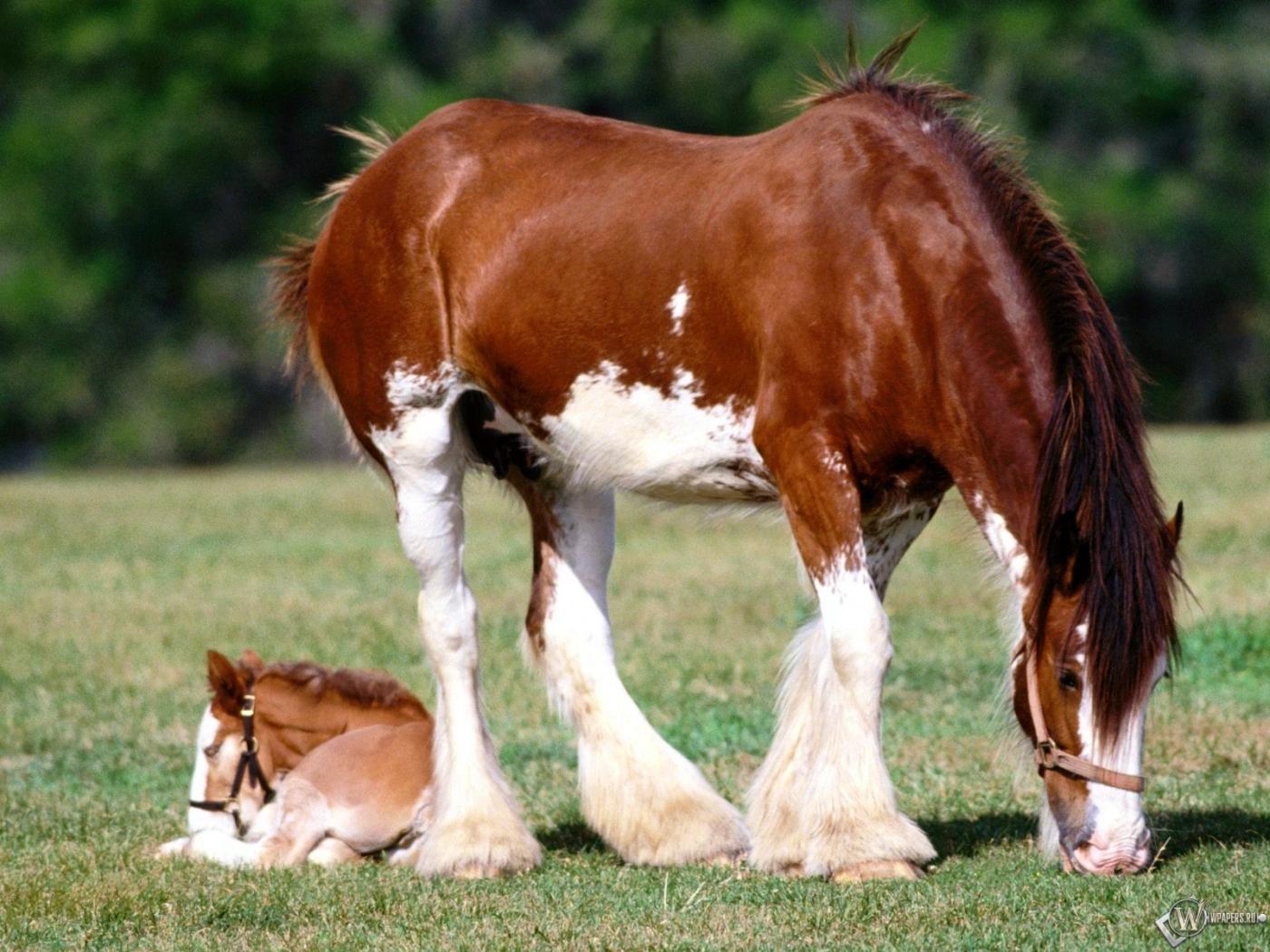 Шайр лошадь животное 1400x1050 картинки