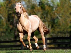 Обои Бегущая белая лошадь : , Лошади